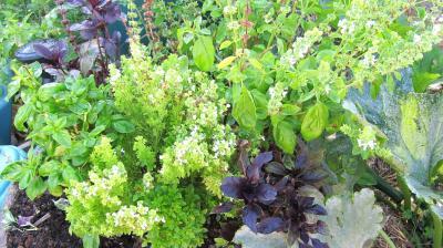 Image : Basilic - Des plants de basilic