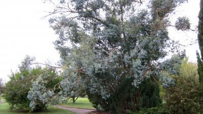 Image : Eucalyptus - Eucalyptus