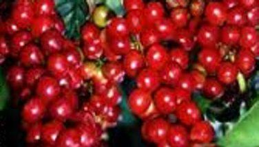 Image : Arabica - Café arabica