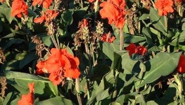 Image : Canna comestible - Canna Edulis comestible