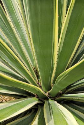 Image : Agave - Agave americana