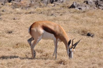 Image : Antilope - Springbok