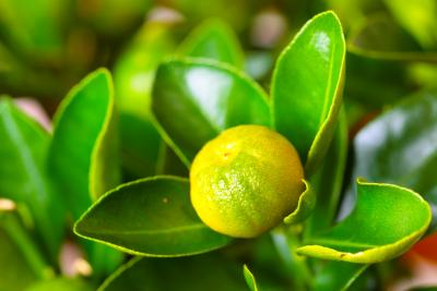 Photo : Calamondin - Calamondin