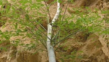 Moringa hildebrandtii