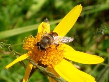 Image : Arnica - Fleur d'arnica