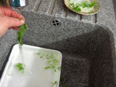 Laver le cerfeuil