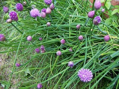 Photo : Ciboulette en fleur
