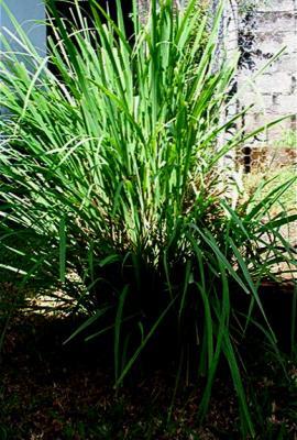 Photo : Plant de citronnelle