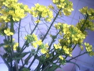Photo : Fleurs de colza