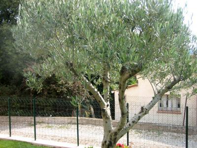 Image : Olive - L'arbre l'olivier