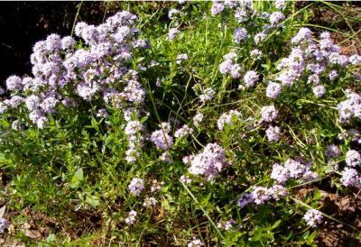 Image : Sarriette - Plant de sarriette