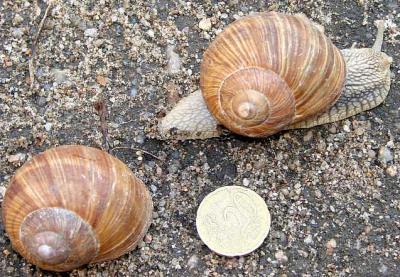 Image : Escargot - Escargots