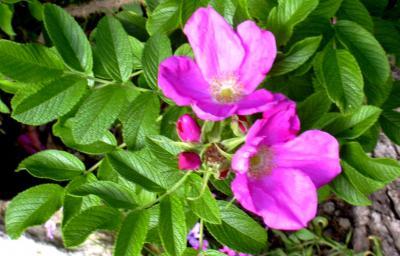 Rose de provins