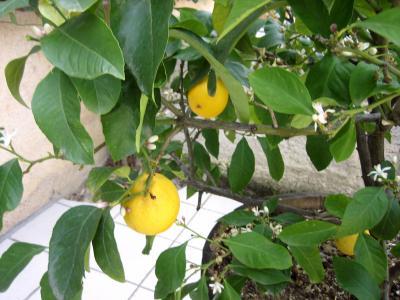 Image : Citron - Citronnier