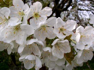 Image : Cerises - Fleurs de cerisiers