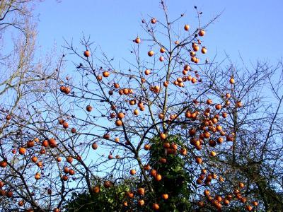 Image : Kaki - Le plaqueminier et ses fruits les kakis