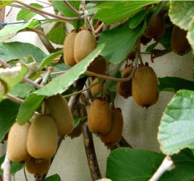 Image : Vitamine C - Une branche de kiwis