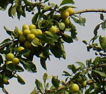 prunier mirabelles