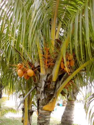 Image : Huile de noix de coco - Cocotier et ses noix de coco