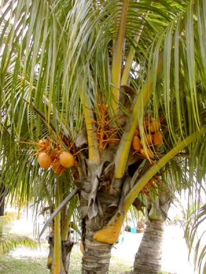 Image : Noix de coco - Noix de coco sur le cocotier