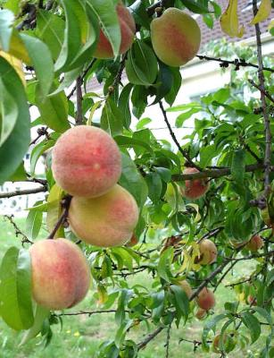 Image : Pches, Brugnons et Nectarines - pches