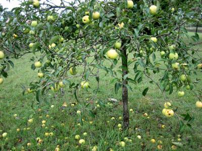 Image : Pomme - Pommier