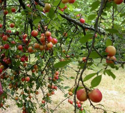 Image : Prune - Les prunes sur un prunier
