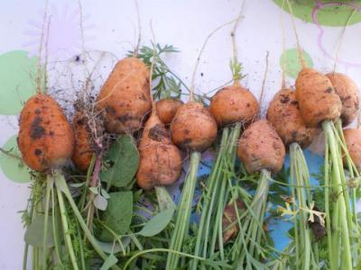 carottes rondes