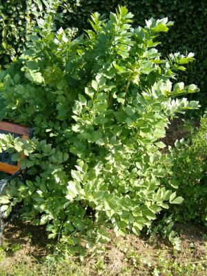 Image : Céleri-branche - Plant de céleri-branche