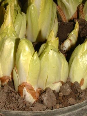 Photo : Endives