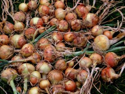 oignons paille des verjus