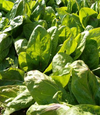 Image : Oseille - Plant d'oseille