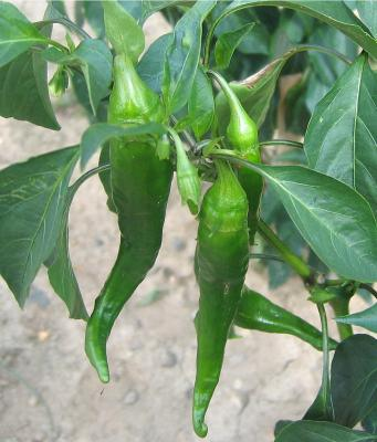 Image : Piment - Piments