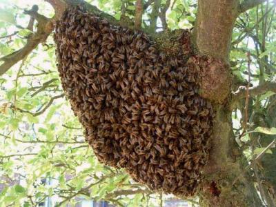 Photo : Les abeilles