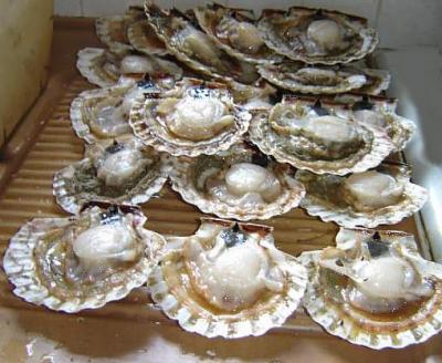 Image : Mollusques marins - Coquilles Saint Jacques