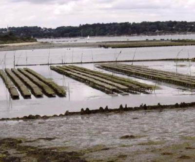 élevage des huîtres