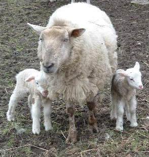 Image : Agneau - Famille agneau