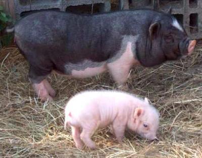 Image : Porc - Un porc