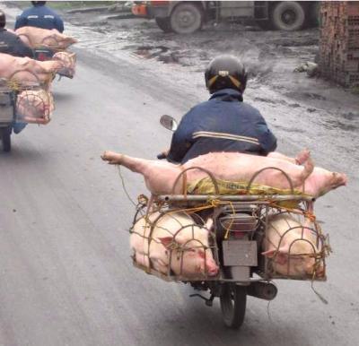 Image : Abattoir - Transport de porc en moto aux abattoirs