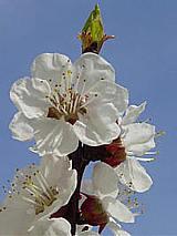 fleurs d'abricots