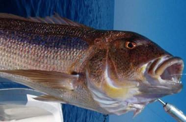 Image : Denti - Le poisson denti
