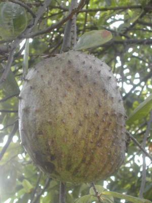 Image : Anone ou Corossol ou Guanábana - Le fruit l'anone