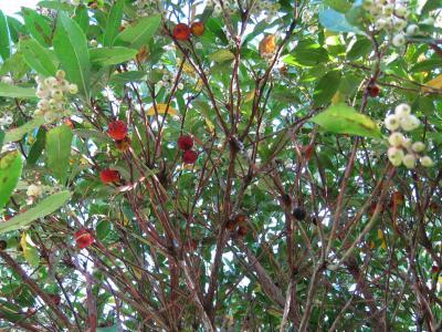 Image : Arbouse - Arbousier et ses fruits