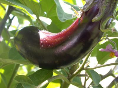 Photo : Plant d'aubergine
