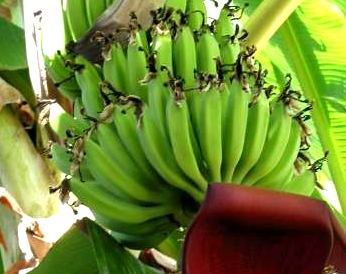banane fiche banane et recettes de banane sur supertoinette. Black Bedroom Furniture Sets. Home Design Ideas