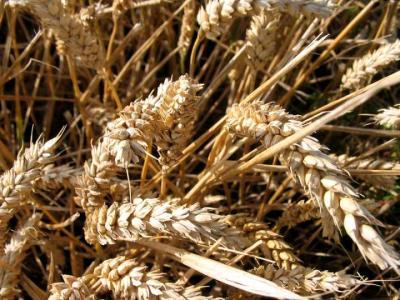 Image : Blé - Des épis de blé