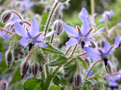Image : Bourrache - Fleurs de bourrache