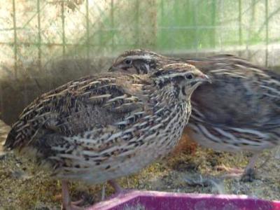 Image : Caille - Les cailles dans leur habitat