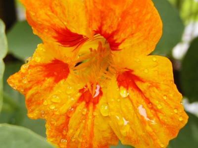 Image : Capucine - Fleur de capucine