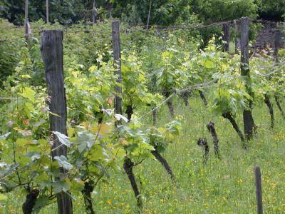 Image : Cépages - Une vigne